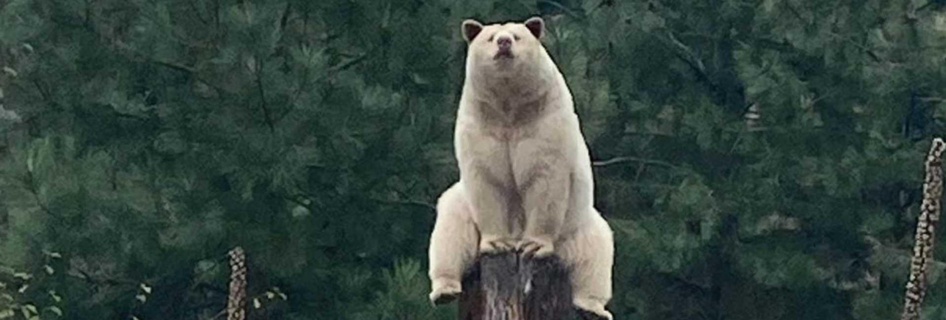 a spirit bear sitting on top of a stump