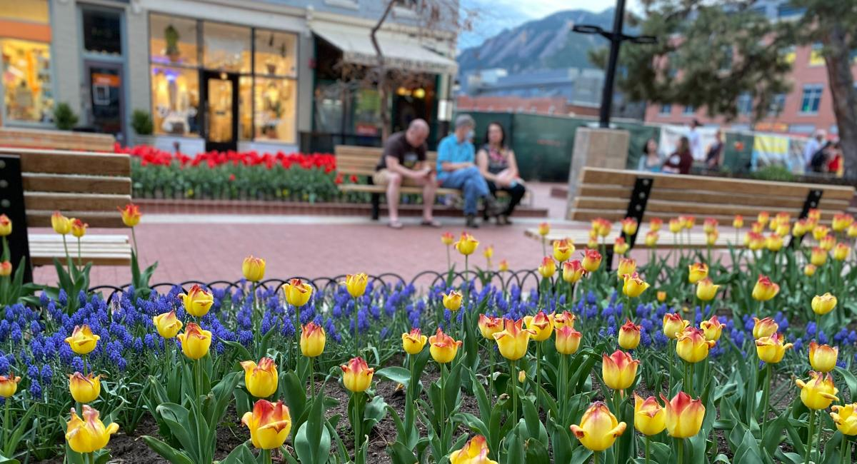 Yellow tulips on Pearl Street with Flatirons in Background