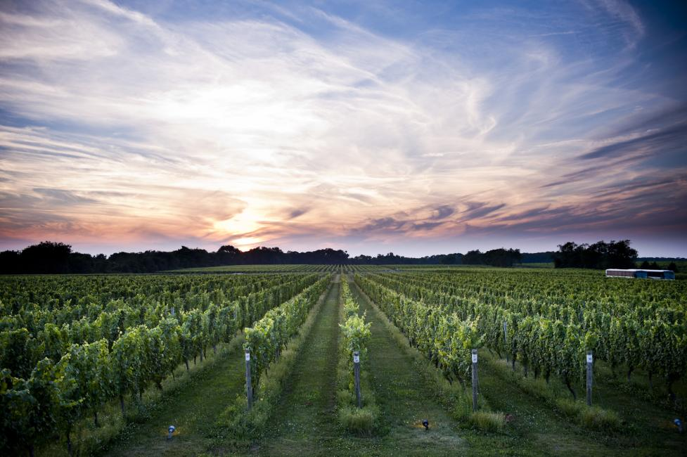 Bedell Vineyard at Dusk W Studios NY - Photo Courtesy of Bedell Vineyard