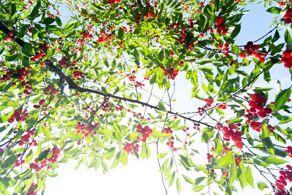 A cherry tree at King Orchards in Antrim County, Michigan