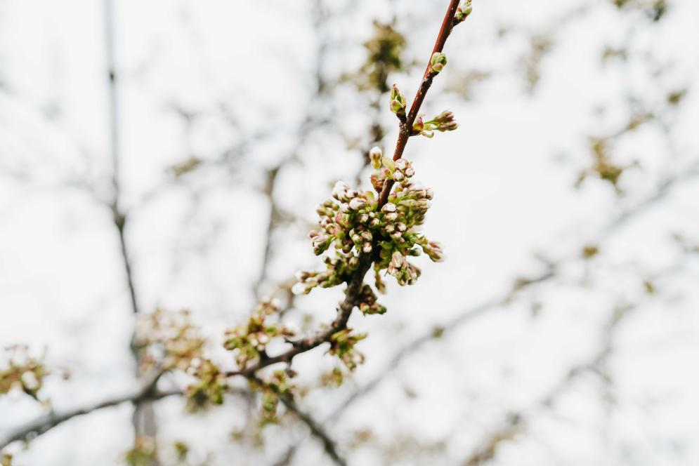 Early Cherry Blossom Flowers