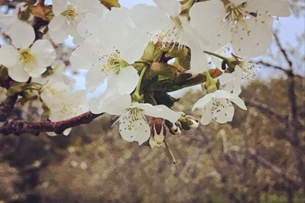 Cherry Blossoms in Leelanau County