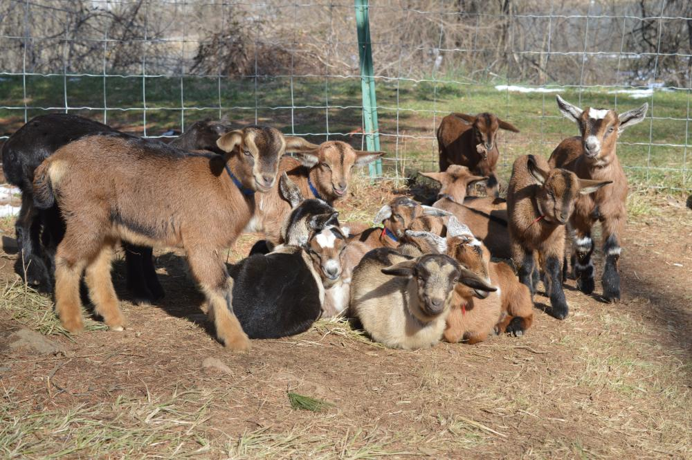 Baby goats at Georges Mill Farm in Loudoun County, VA