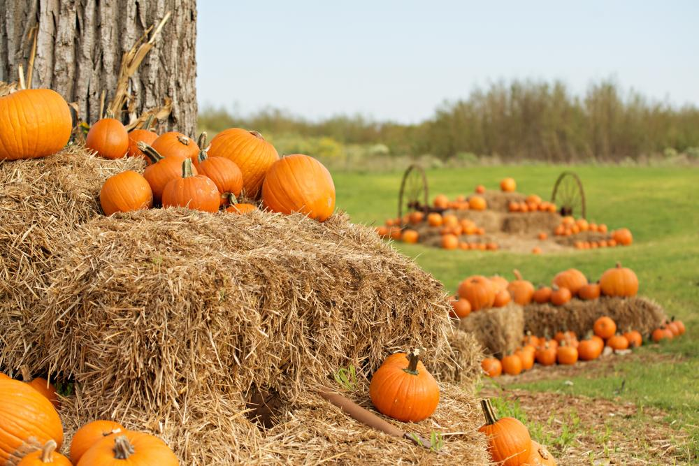 Fall Pumpkin Patch at Barton Hill Farms in Bastrop near Austin Texas