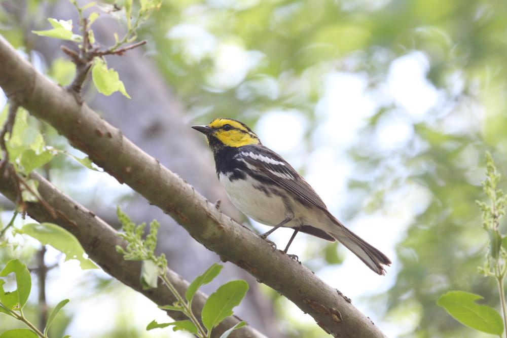 A Golden-cheeked Warbler bird perched on a tree branch