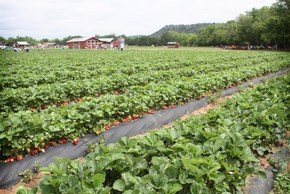 Field of Strawberries at Sweet Berry Farm in Marble Falls TX