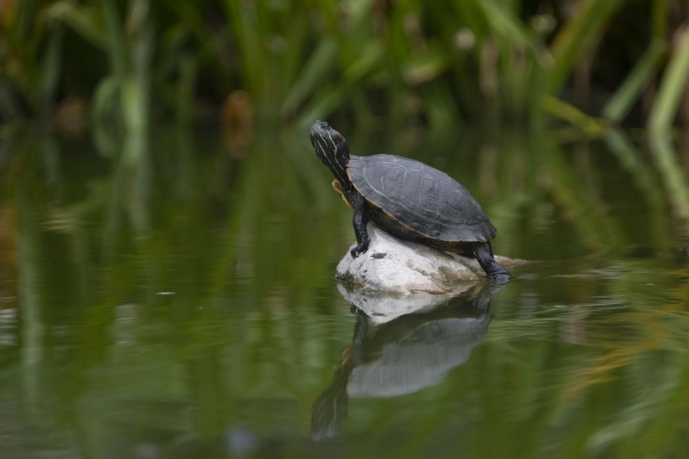 Turtle in a pond on campus at the University of Texas at Austin