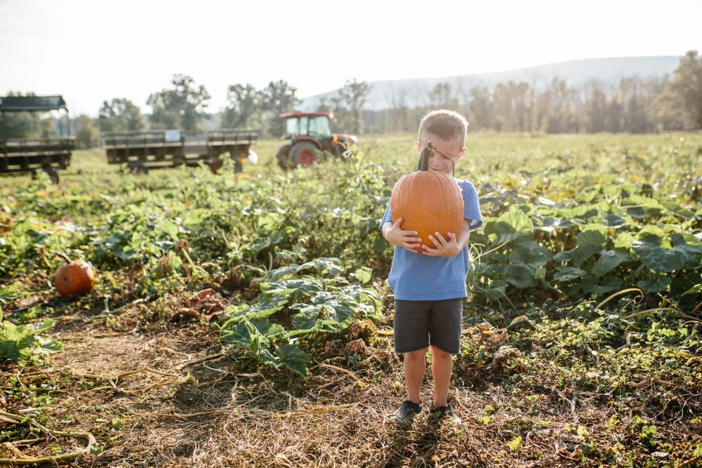 Boy in a blue shirt holding a freshly picked pumpkin at Great Country Farms with a tractor in the background