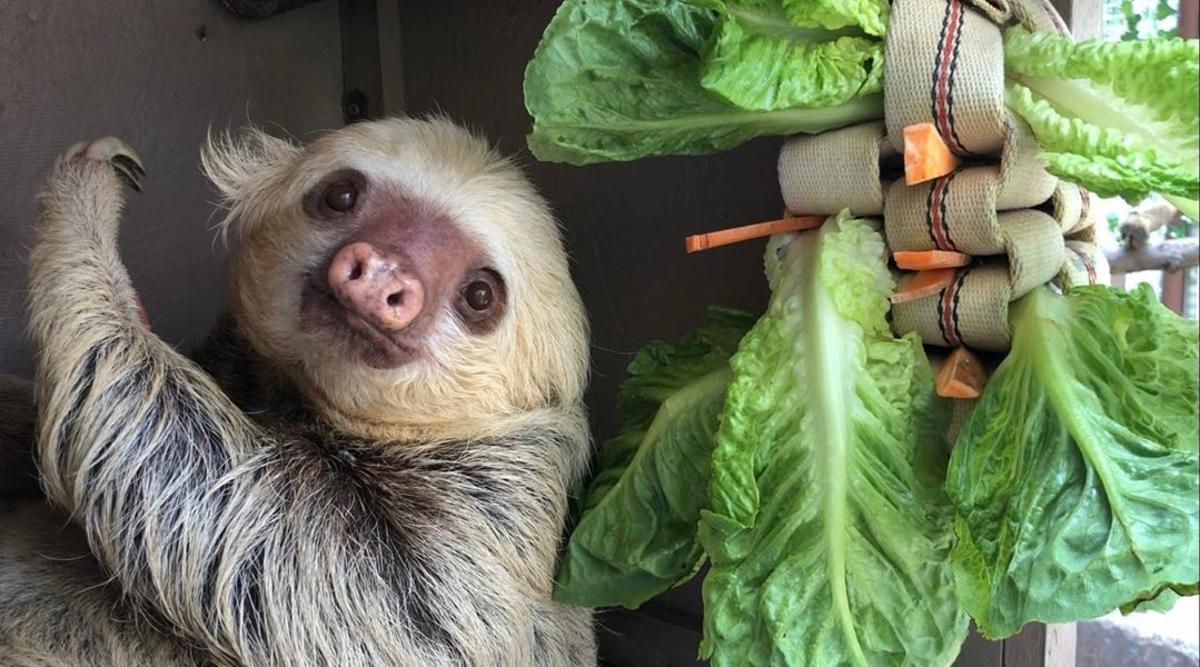 Sloth hanging out by his lettuce snack at the Saginaw Children's Zoo