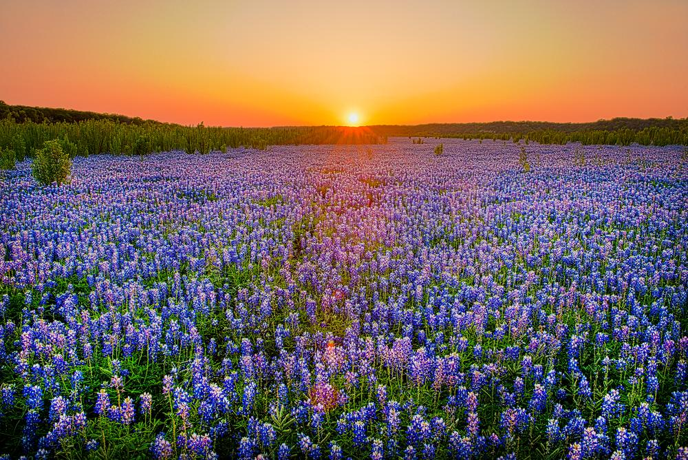 Field of Bluebonnet flowers with sunset in the background at Muleshoe Bend