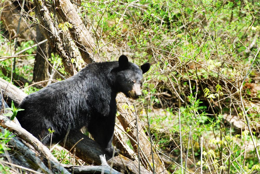 Bear in Weaverville