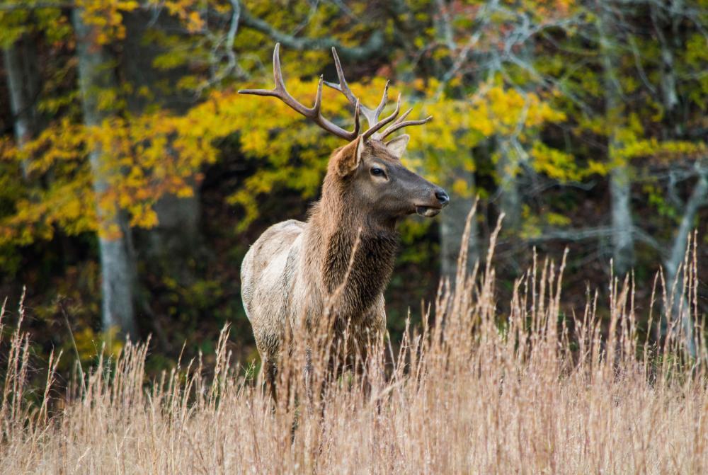 Elk Cataloochee in Fall 2017