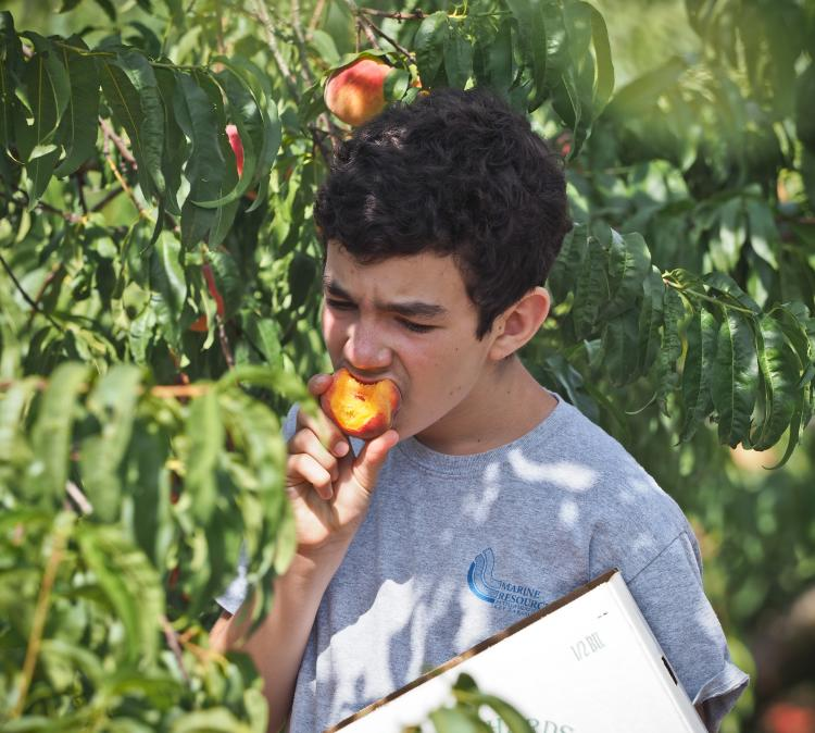 Picking your own peaches is a great family-friendly activity in Fredericksburg