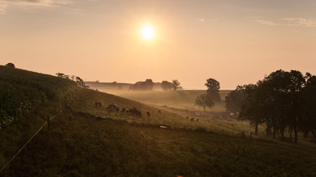 Cows graze in the early morning hours at Rodale Institute
