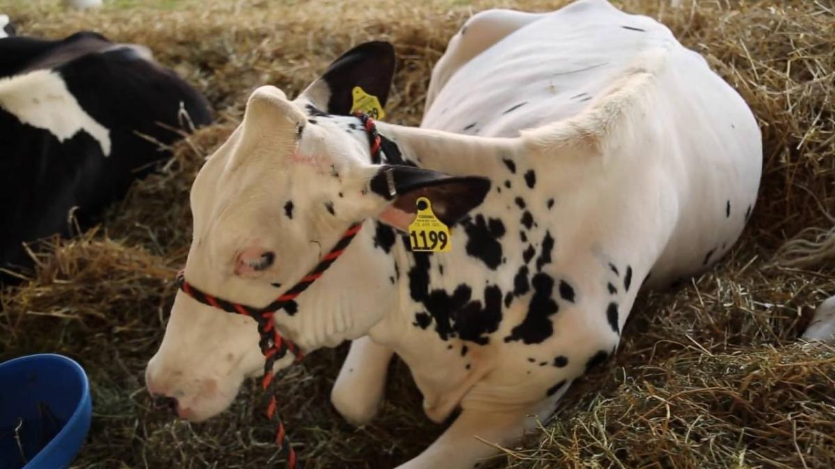 White and black spotted steer laying in hay at the Great Allentown Fair