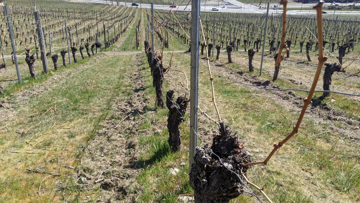 Little Straw Vineyards - Auxerrois Vines