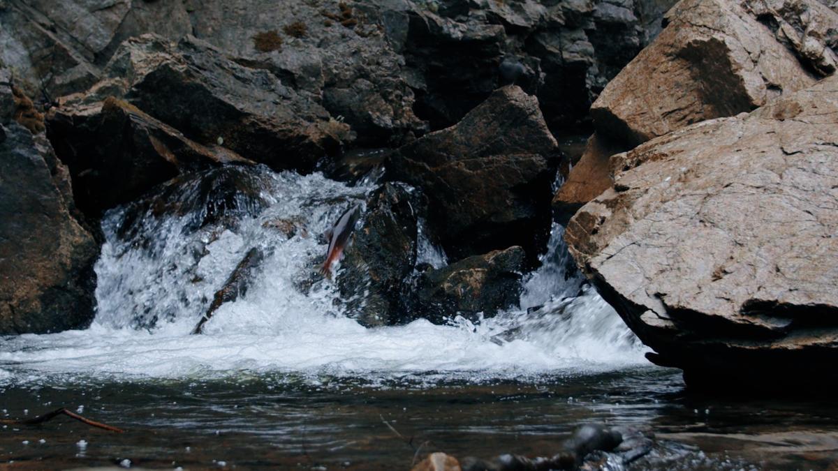 Salmon Jumping at Hardy Falls