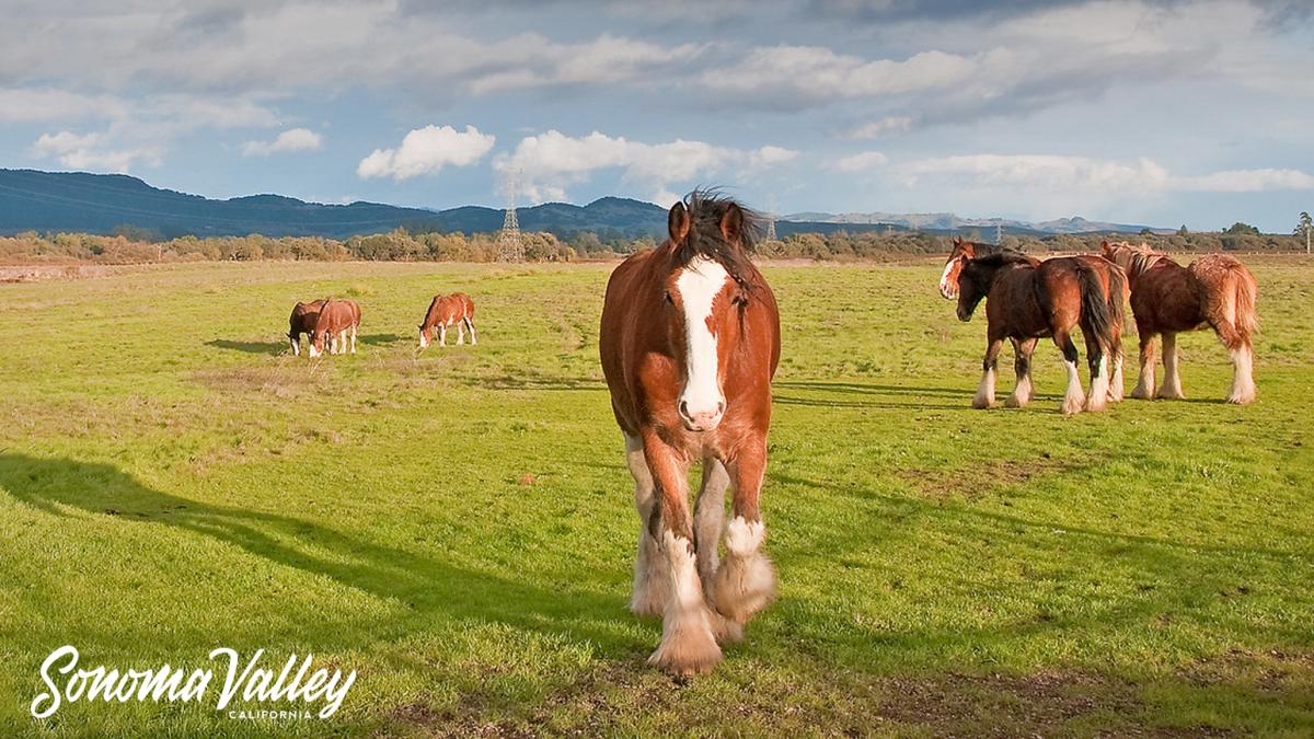 A large, beautiful chestnut horse looks at the viewer as other large horses in a field nibble grass under a blue Sonoma sky with mountains in the background