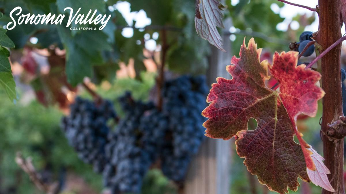 A red grape lead in front of cabernet grapes in Sonoma Valley