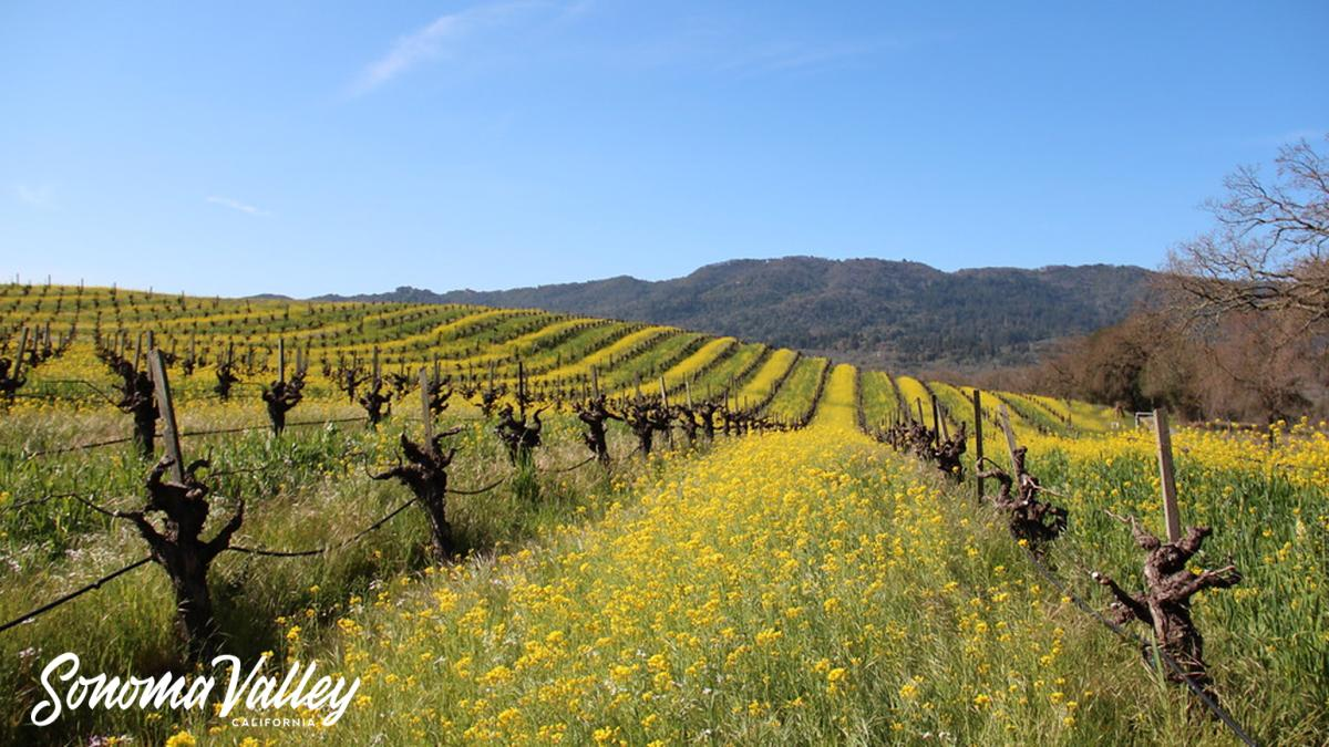Dormant winegrape vines on a hill with yellow mustard between them and brilliant blue Sonoma skies above them