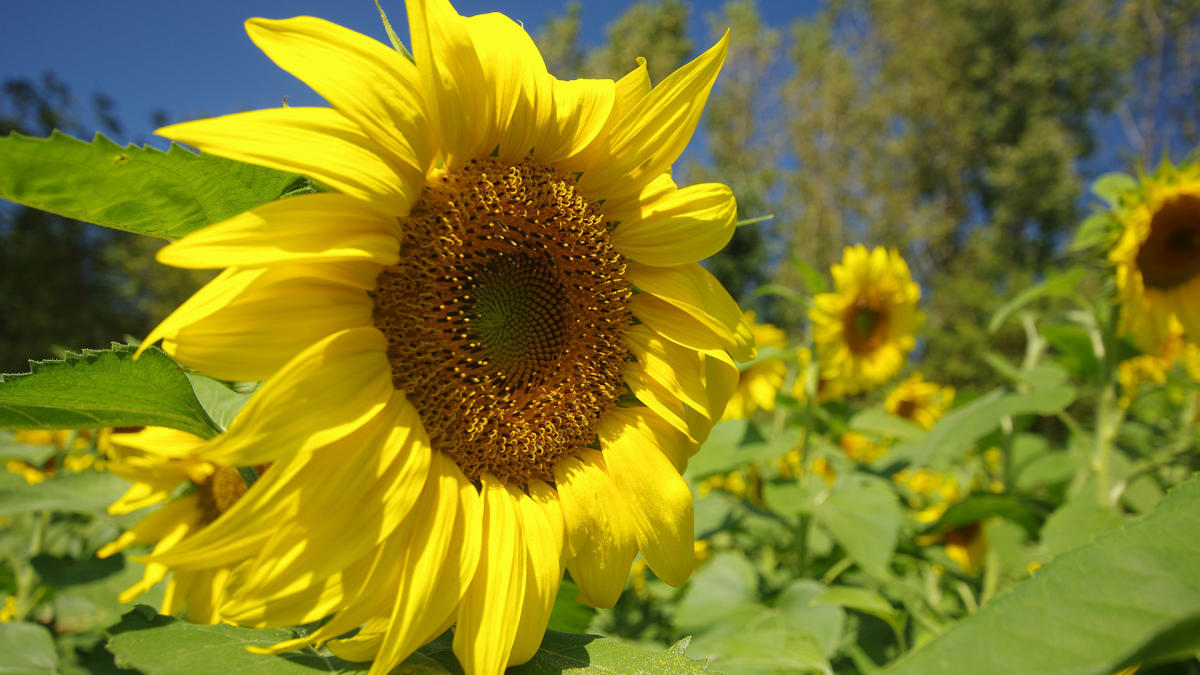 Sunflowers at Art Barn Valparaiso