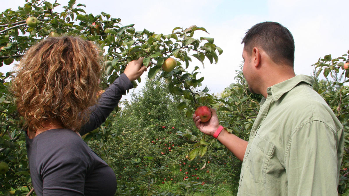 Couple picking apples - County Line Orchard