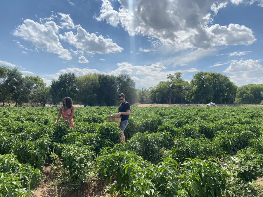 Pick your own chile at Big Jim Farms