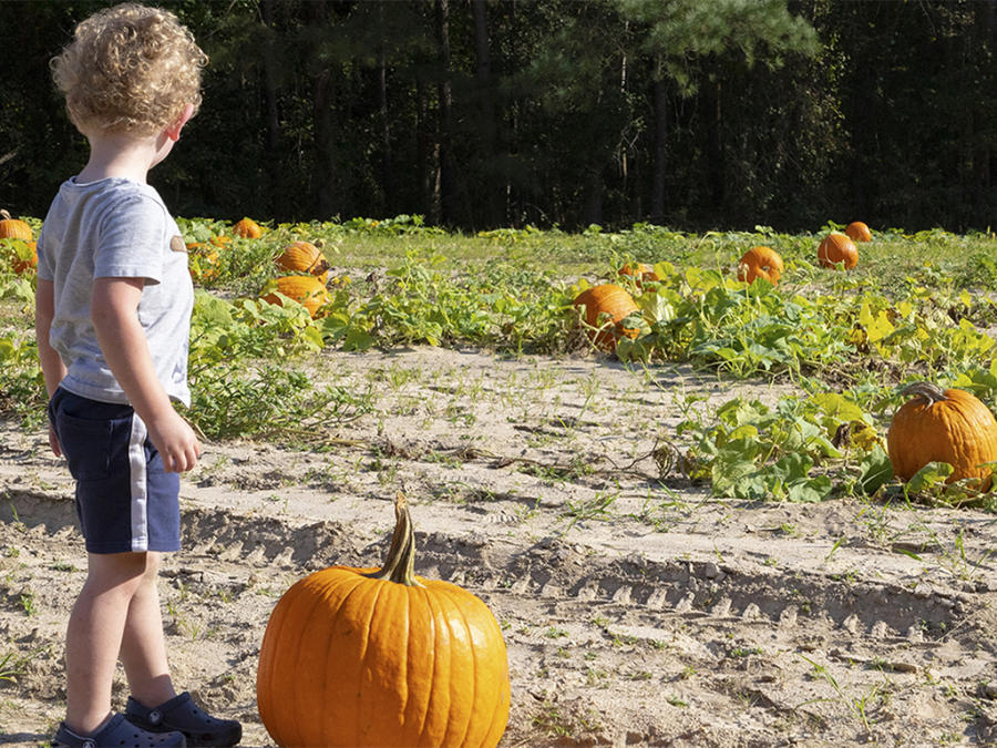 3-year old boy picking a pumpkin at Smith's Farm near Benson, NC.