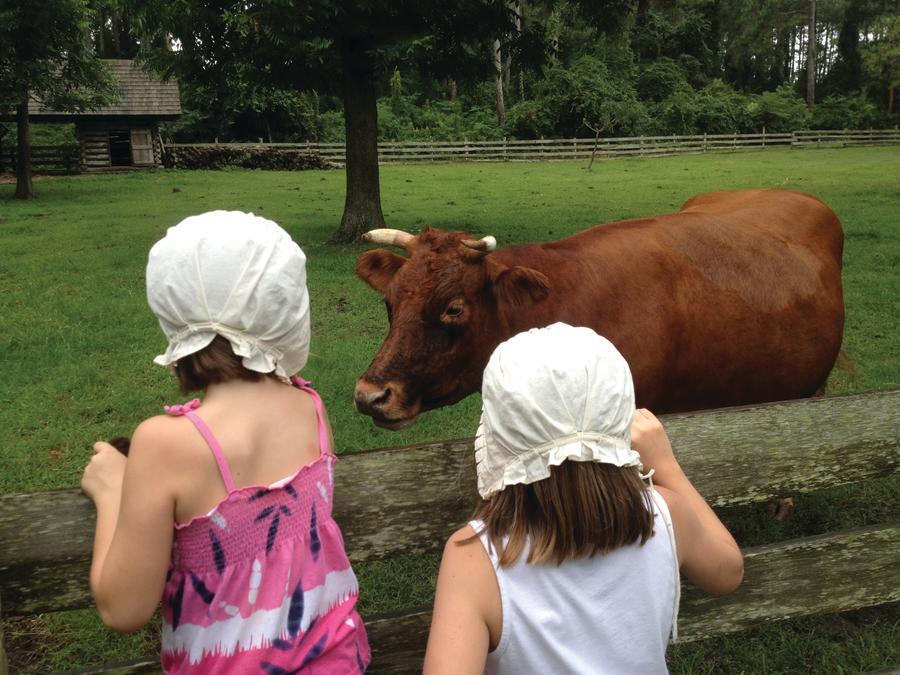 island farm cow manteo