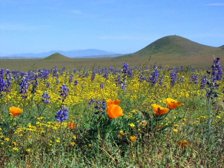 Wildflowers blooming on the Carrizo Plains in SLO CAL