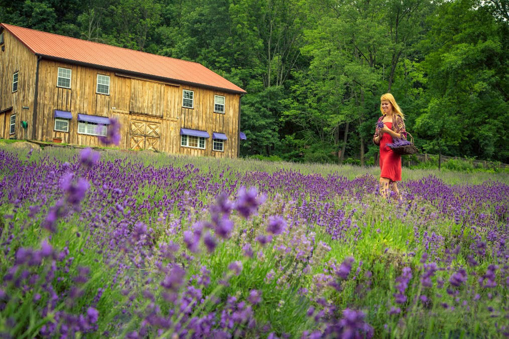 The fields at Peace Valley Lavender Farm are in full bloom in June and July.