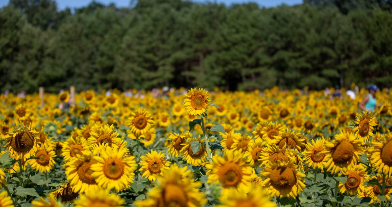 Sunflower Fields At Dorothea Dix Park In Raleigh N C