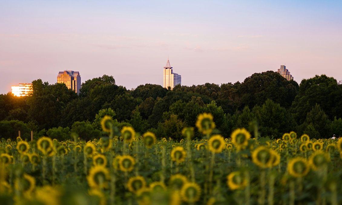 Dorothea Dix Park Sunflowers