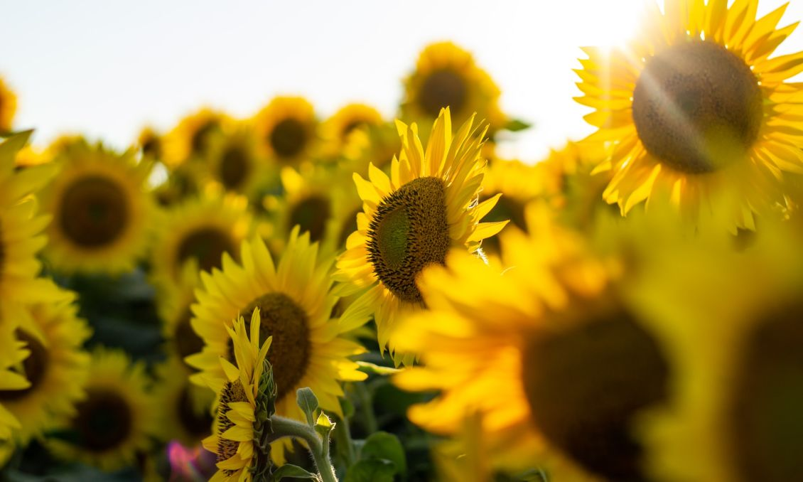 Sunflowers bunched together with sun shining behind them