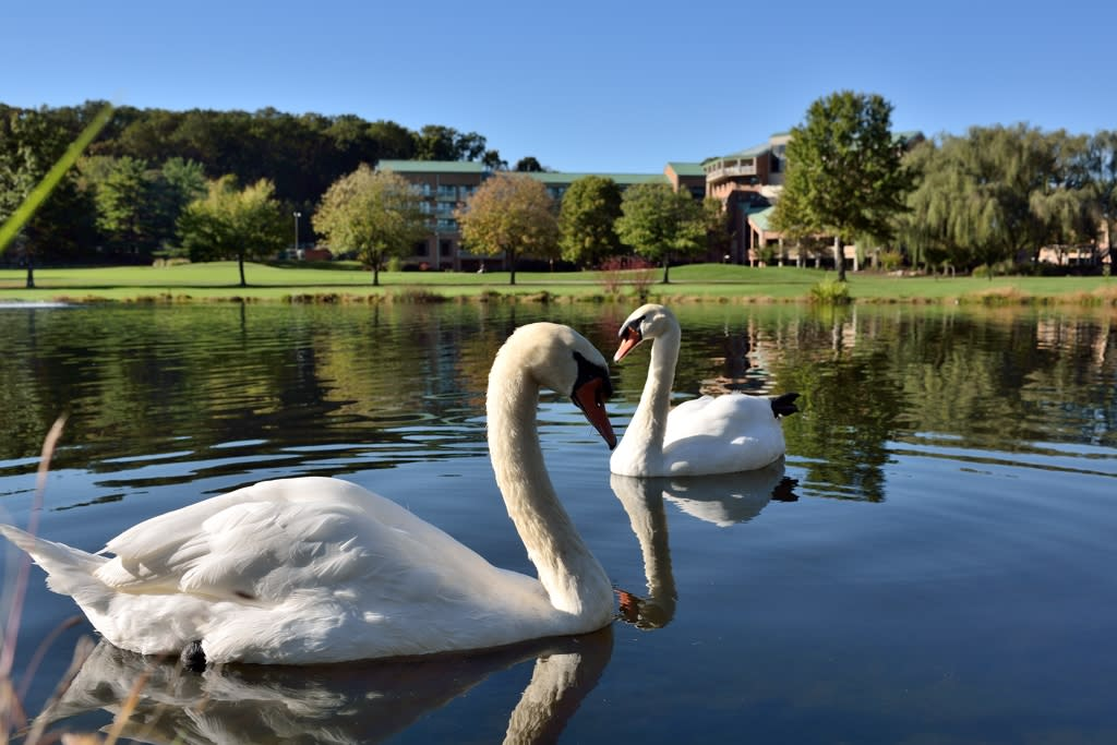Turf Valley Resort Swans
