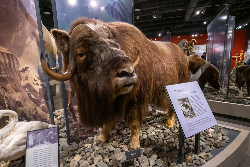 a taxidermy muskox on display in a museum