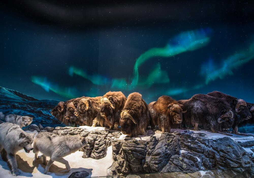Bison under northern lights in Wonders of Wildlife in Springfield, Missouri