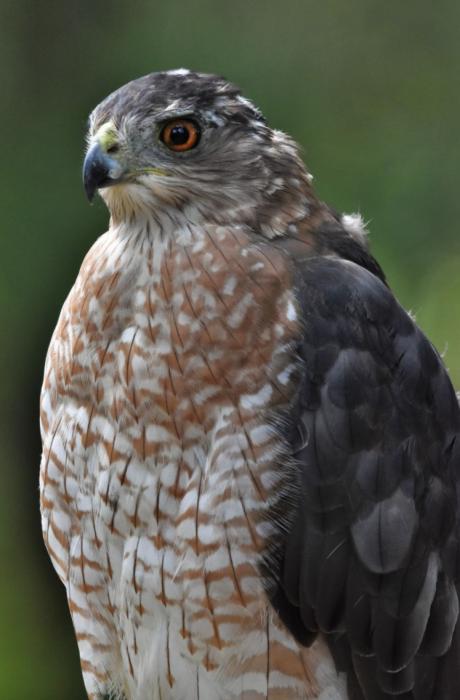 Cooper's Hawk bird