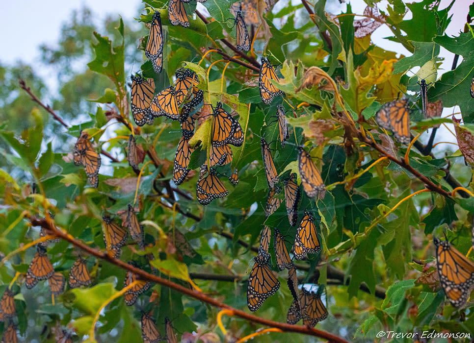 Monarchs Roosting at Kankakee Sands - Trevor Edmonson