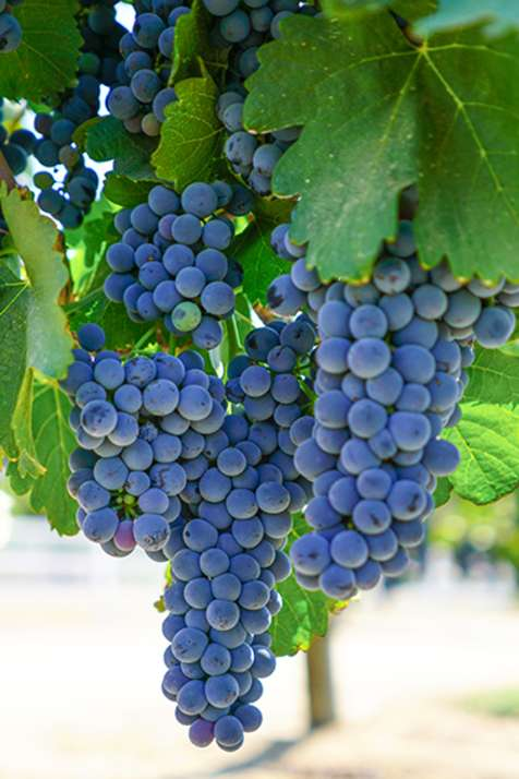 Temecula Valley Grapes