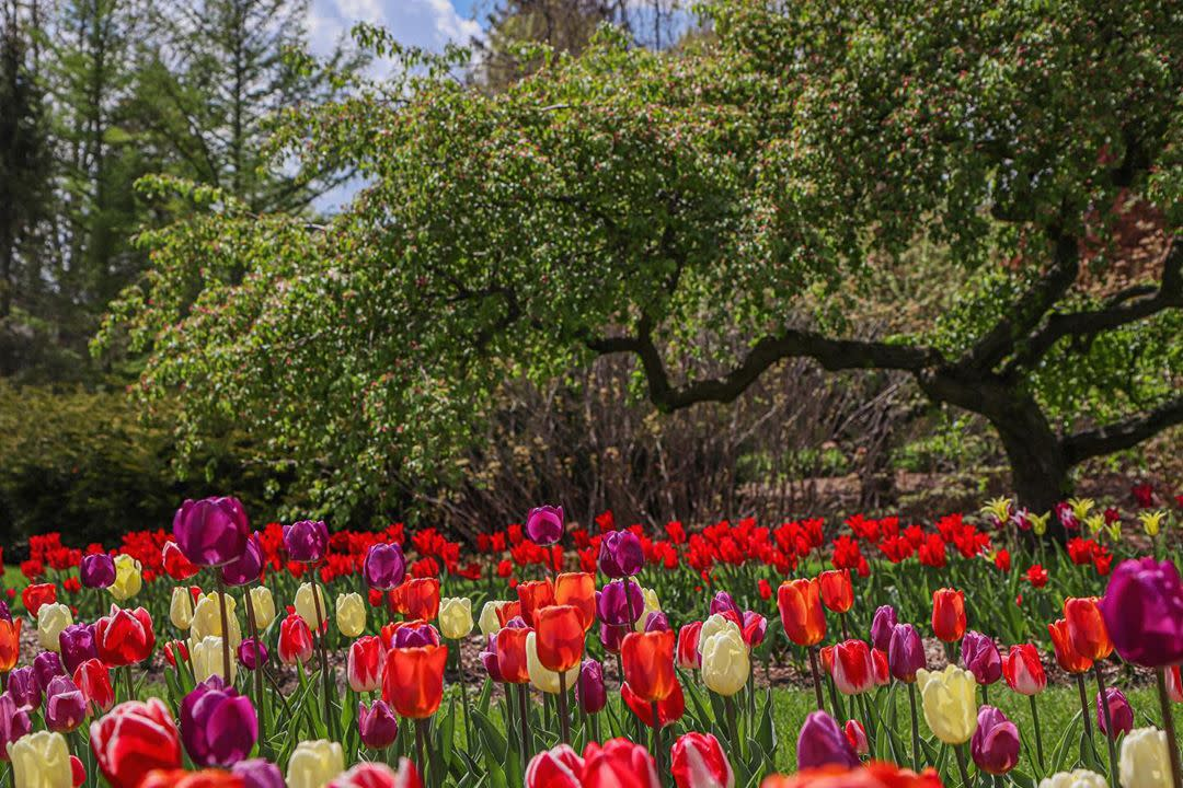 Vivid, blooming tulips in front of a gorgeous, sprawling tree at Dow Gardens in Midland