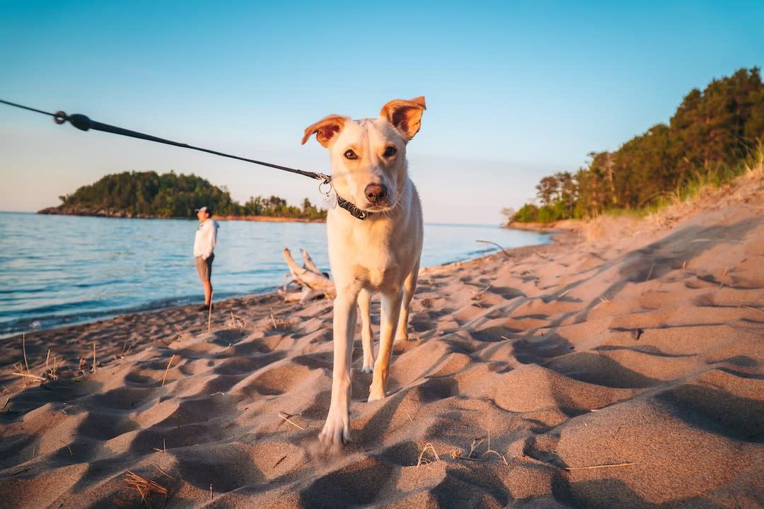 A pup enjoying a stroll along the shore at Little Presque Beach