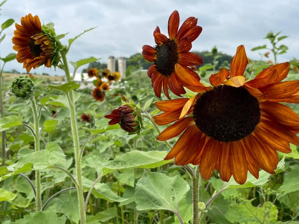 Orange Sunflower Maple Bottom Farm