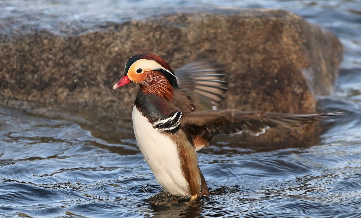 Mandarin duck stretching wings
