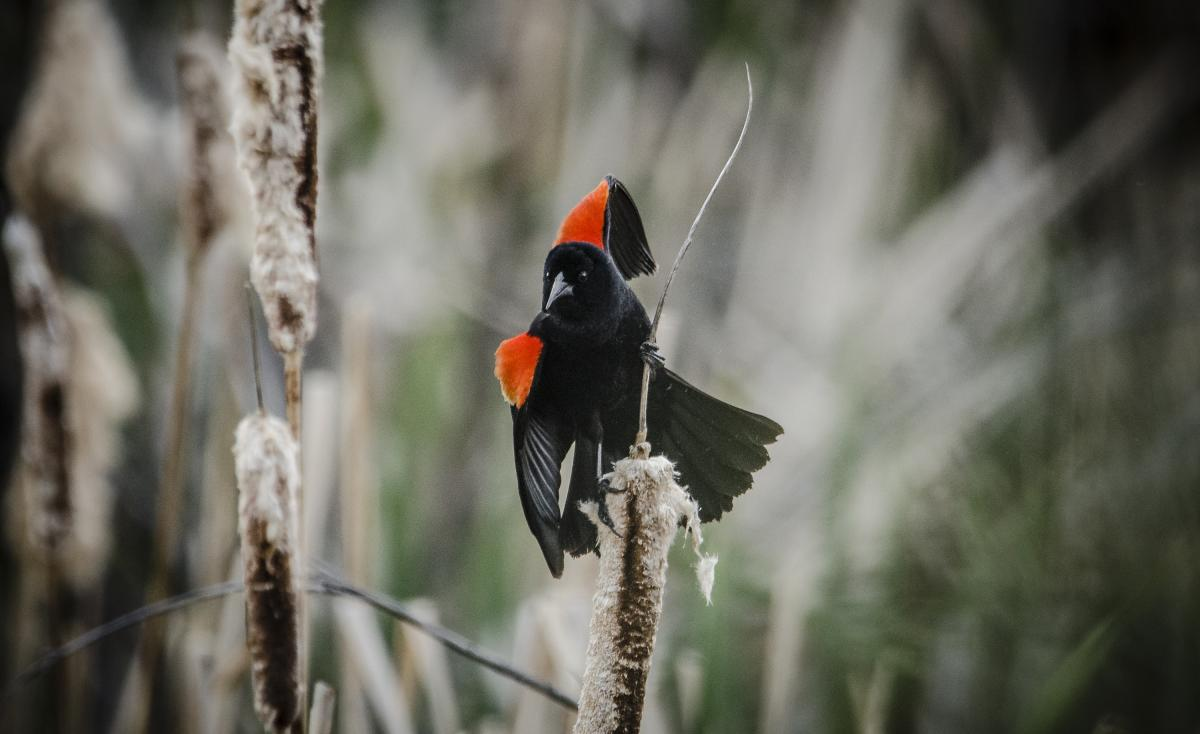 Red Winged Blackbird at Rio Fernando Park