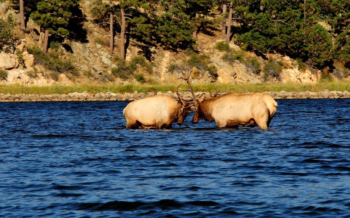 Elk Sparring in Lake Estes