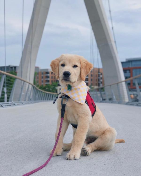 A yellow lab puppy on the Dublin Link pedestrian bridge