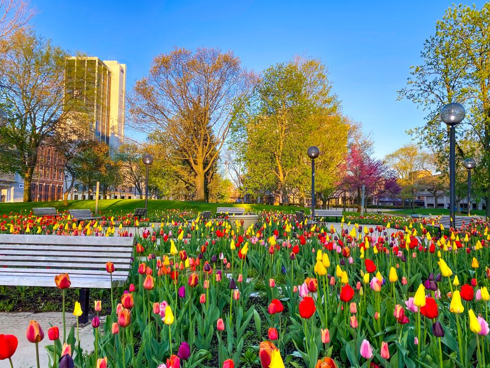 Colorful spring tulips at Freimann Square