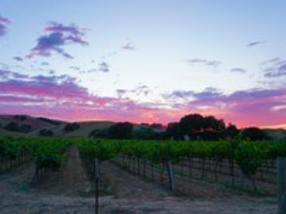 Purple Vineyards