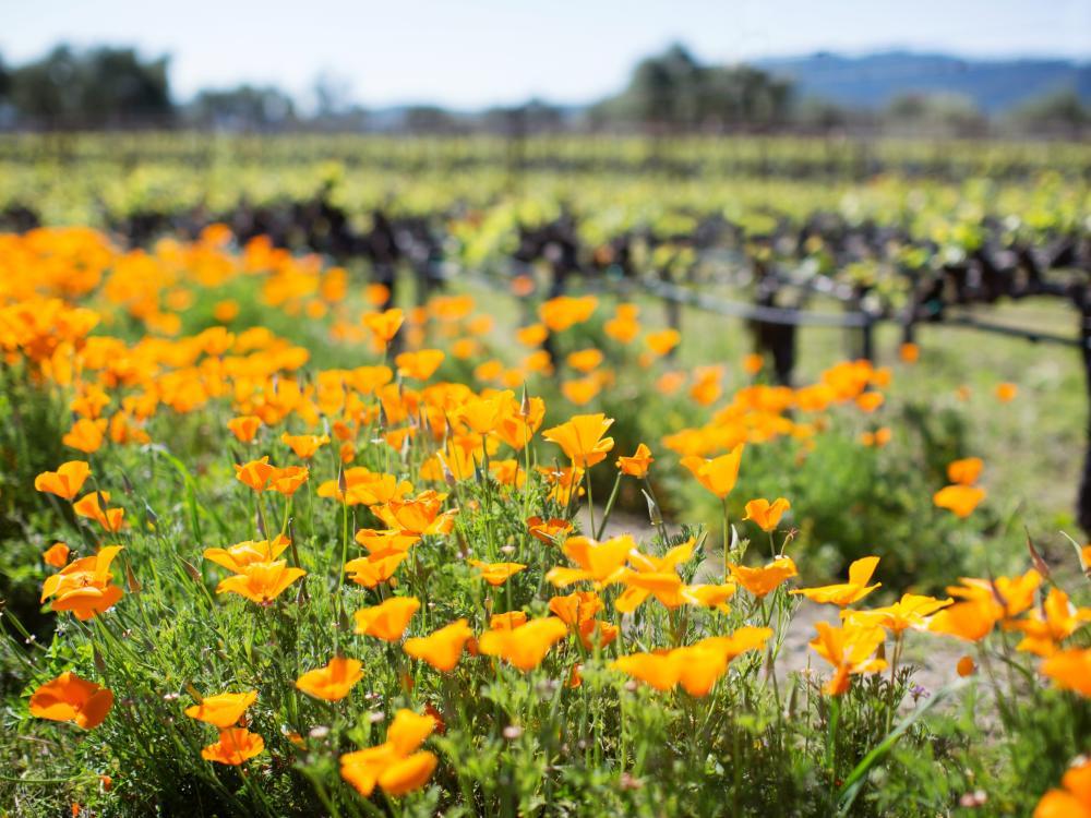 Spring Vineyard in Napa Valley